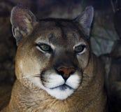 Πορτρέτο Puma Στοκ Εικόνες