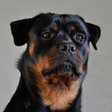 Πορτρέτο Rottweiler Στοκ φωτογραφία με δικαίωμα ελεύθερης χρήσης