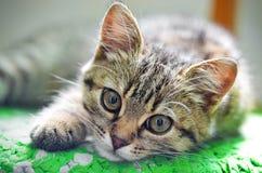 πορτρέτο s γατών Στοκ Εικόνες