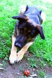 πορτρέτο s σκυλιών Στοκ Εικόνα