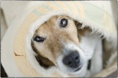 πορτρέτο s σκυλιών Στοκ Εικόνες