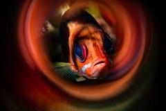 Πορτρέτο Squirrelfish Longjaw με τα κόκκινα χρωματισμένα δαχτυλίδια γύρω από το στοκ φωτογραφία με δικαίωμα ελεύθερης χρήσης