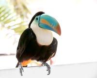 πορτρέτο toucan Στοκ Εικόνα