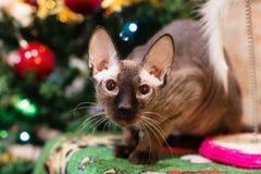 Πορτρέτο velour sphynx της γάτας σε ένα υπόβαθρο του χριστουγεννιάτικου δέντρου με τις διακοσμήσεις και τα φω'τα στοκ φωτογραφίες