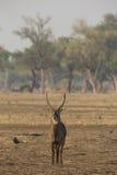 Πορτρέτο Waterbuck στοκ φωτογραφίες