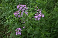 Πορφυρά άγρια λουλούδια σε ένα πάρκο στοκ εικόνες