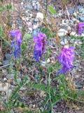 Πορφυρά άγρια λουλούδια νέα γη Στοκ Εικόνα