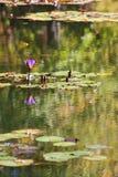 Πορφυρά άνθος και Lilypads κρίνων νερού στη λίμνη της βόρειας Γεωργίας Στοκ Εικόνα