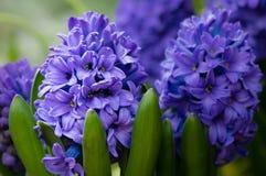 Πορφυρά ή μπλε λουλούδια υάκινθων στην άνθιση Στοκ Φωτογραφία