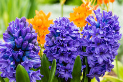 Πορφυρά ή μπλε λουλούδια υάκινθων στην άνθιση Στοκ Φωτογραφίες