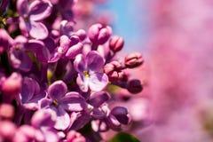 Πορφυρά ζωηρόχρωμα λουλούδια των ανθίζοντας πασχαλιών άνοιξη Κινηματογράφηση σε πρώτο πλάνο άνοιξη Στοκ φωτογραφία με δικαίωμα ελεύθερης χρήσης