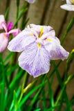 Πορφυρά ιαπωνικά λουλούδια ίριδων Στοκ Εικόνα