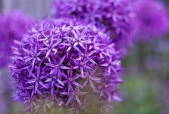 Πορφυρά ιώδη λουλούδια allium με το θολωμένο υπόβαθρο, το στενό u Στοκ εικόνα με δικαίωμα ελεύθερης χρήσης