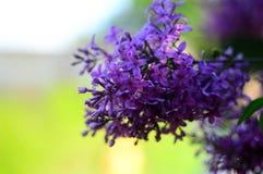 Πορφυρά ιώδη λουλούδια Στοκ εικόνες με δικαίωμα ελεύθερης χρήσης
