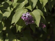 Πορφυρά ιώδη λουλούδια Στοκ φωτογραφία με δικαίωμα ελεύθερης χρήσης