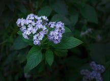 Πορφυρά ιώδη λουλούδια Heliotrop Στοκ φωτογραφία με δικαίωμα ελεύθερης χρήσης