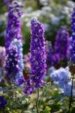 Πορφυρά κάθετα λουλούδια: Antirrhinum Majus σε έναν κήπο Στοκ φωτογραφία με δικαίωμα ελεύθερης χρήσης