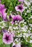 Πορφυρά και άσπρα λουλούδια Στοκ Εικόνες
