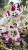 Πορφυρά και άσπρα λουλούδια Στοκ Φωτογραφίες