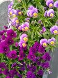 Πορφυρά και ιώδη λουλούδια σε ένα δοχείο στοκ φωτογραφίες με δικαίωμα ελεύθερης χρήσης