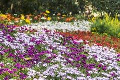Πορφυρά και ρόδινα λουλούδια χρυσάνθεμων Στοκ Εικόνα