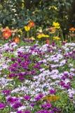 Πορφυρά και ρόδινα λουλούδια χρυσάνθεμων Στοκ φωτογραφίες με δικαίωμα ελεύθερης χρήσης