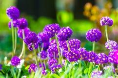 Πορφυρά κρεβάτια λουλουδιών άνοιξη χλόης λουλουδιών Στοκ εικόνες με δικαίωμα ελεύθερης χρήσης