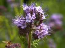 Πορφυρά λουλούδια εγκαταστάσεων tanacetifolia Phacelia στοκ φωτογραφία με δικαίωμα ελεύθερης χρήσης