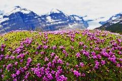 Πορφυρά λουλούδια - ιάσπιδα, Καναδάς Στοκ Εικόνες
