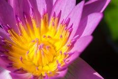 Πορφυρά λουλούδια κρίνων λουλουδιών ή νερού λωτού Στοκ Φωτογραφία