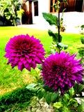 Πορφυρά λουλούδια με τα πράσινα φύλλα στοκ εικόνες