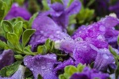 Πορφυρά λουλούδια με τις πτώσεις του νερού στοκ φωτογραφίες