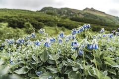 Πορφυρά λουλούδια ομορφιάς στα βουνά, Ρωσία στοκ φωτογραφία