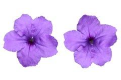 πορφυρά λουλούδια ρυμούλκησης στο άσπρο υπόβαθρο στοκ εικόνα με δικαίωμα ελεύθερης χρήσης