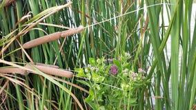 Πορφυρά λουλούδια σε Cattails Στοκ Εικόνες