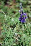 Πορφυρά λουλούδια στην οικολογική επιφύλαξη Antisana Στοκ Φωτογραφία