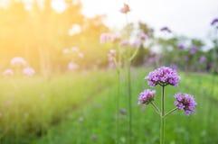 Πορφυρά λουλούδια στο κατώφλι Στοκ Εικόνες