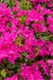 Πορφυρά λουλούδια της Νίκαιας του bougainvillea στο πράσινο υπόβαθρο 2 φύσης Στοκ φωτογραφία με δικαίωμα ελεύθερης χρήσης