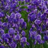 Πορφυρά λουλούδια 2 της Iris Στοκ Εικόνες
