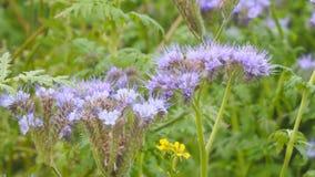 Πορφυρά λουλούδια του phacelia φιλμ μικρού μήκους
