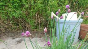 Πορφυρά λουλούδια φρέσκων κρεμμυδιών μπροστά από τα δοχεία κήπων Στοκ φωτογραφίες με δικαίωμα ελεύθερης χρήσης