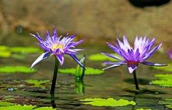 Πορφυρά λουλούδια χρώματος του λωτού Στοκ φωτογραφία με δικαίωμα ελεύθερης χρήσης