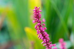 Πορφυρά λουλούδια angelonia Στοκ φωτογραφίες με δικαίωμα ελεύθερης χρήσης