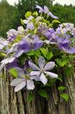Πορφυρά λουλούδια clematis Στοκ Φωτογραφία