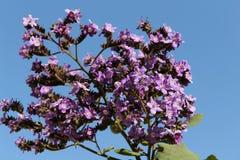 Πορφυρά λουλούδια Heliotropium arborescens στον κήπο Στοκ εικόνες με δικαίωμα ελεύθερης χρήσης