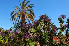 Πορφυρά λουλούδια Heliotropium arborescens στον κήπο Στοκ φωτογραφίες με δικαίωμα ελεύθερης χρήσης