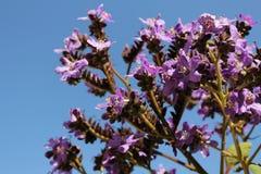 Πορφυρά λουλούδια Heliotropium arborescens στον κήπο Στοκ φωτογραφία με δικαίωμα ελεύθερης χρήσης