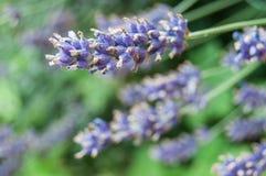 πορφυρά λουλούδια lavender σε έναν τομέα Στοκ Εικόνες