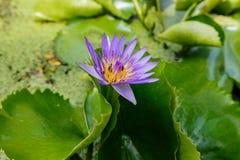 Πορφυρά λουλούδια Lotus Στοκ φωτογραφίες με δικαίωμα ελεύθερης χρήσης