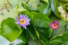 Πορφυρά λουλούδια Lotus στοκ φωτογραφία με δικαίωμα ελεύθερης χρήσης